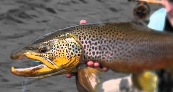 Watch the first 1:30secs – massive brown trout
