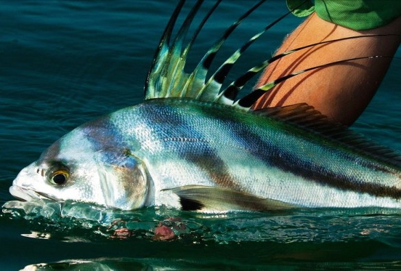 Rooster fly fishing in Baja Mexico