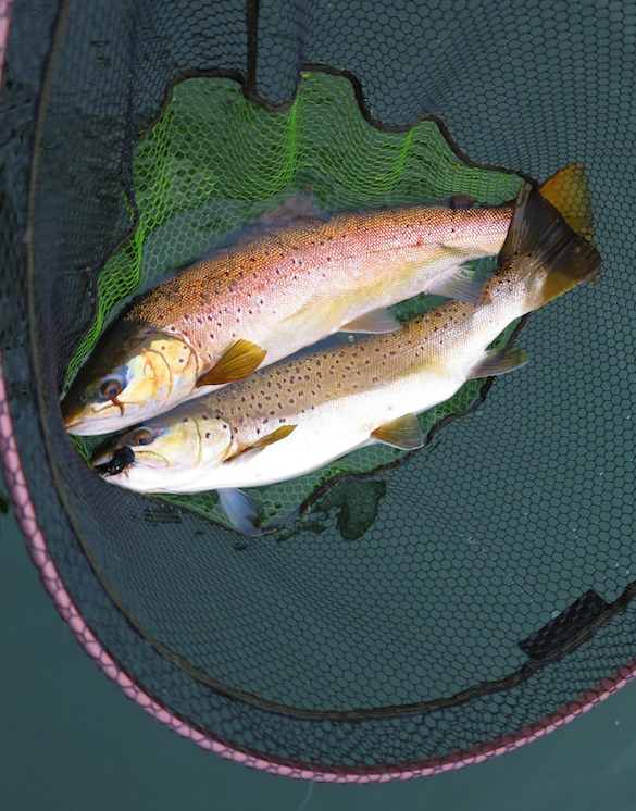 8lb and 6lb browns from Rutland